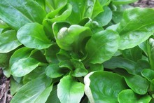 Corn salad/Verte de Cambrai. Photo / Supplied