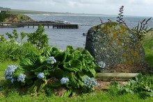 Forget-me-not flowers on the coastline on Chatham Island. Photo / Jim Eagles 