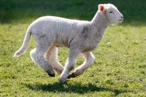 Despite a small lamb crop export returns were up by 3.4 per cent. Photo / Christine Cornege