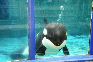 Morgan the orca is moving to a bigger tank, and then hopefully freedom. Photo / Supplied