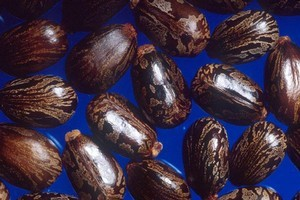 Castor beans. Photo / Supplied