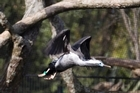 A spotted shag takes to the air in 'the coast', one of the six environments of Te Wao Nui at Auckland Zoo. Photo / Paul Estcourt