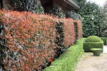 It's time to lightly trim the early growth from your hedges. Photo / APN
