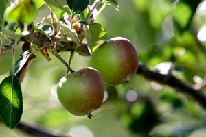 These haven't been welcome in Australia for years - but an Australian ban on New Zealand apples has now been lifted. Photo / NZ Herald