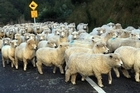 A planned running of sheep down Auckland's Queen Street in October has been cancelled. File photo / NZ Herald