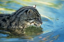 Three fishing cats have been born at an Ohio zoo as part of a program aimed at protecting endangered species. Photo / Thinkstock