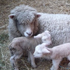 Lambs born yesterday tuck up in a stable to escape the winter chill in Oxford, North Canterbury. Photo / Monese Ball
