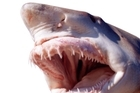 A shark has attacked a young man in the Russian Far East, biting off his arms in an extremely rare attack in the northwestern part of the Sea of Japan. Photo / Thinkstock