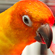 Jose, a six-year-old sun conure, takes his medicine. Photo / Natalie Slade