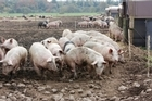 Pork imports from countries with PRRS have to undergo treatment to deactivate the disease. Photo / Thinkstock