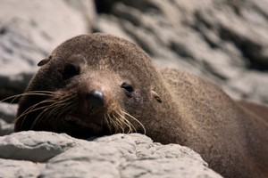 One of the men accused of clubbing 23 seals to death on the Kaikoura coast last year has denied the charge. File photo / Thinkstock