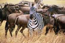 Wildebeest, zebras and the king of the jungle are safari drawcards... but do your research first. Photo / Supplied
