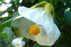 Despite its dainty appearance, white abutilon is incredibly hardy. Photo / Meg Liptrot