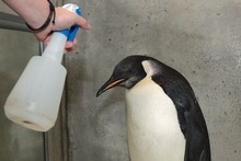 Emperor penguin Happy Feet receives a salt-water shower. He made many Kiwi friends during his three-month visit. Photo / Mark Mitchell