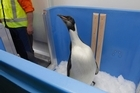 Happy Feet, the emperor penguin found on Peka Peka Beach on the Kapiti Coast, checks out his new enclosure aboard the NIMA research vessel. Photo / Mark Mitchell