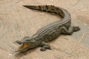 Management at a pool in Darwin believe a crocodile was left there as a 'prank'. Photo / Thinkstock