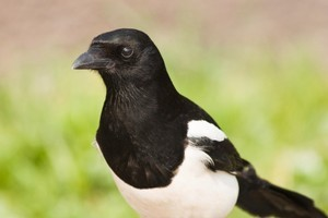 A violent magpie's death warrant has been delayed. Photo / Thinkstock