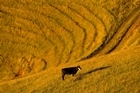 The transactions have been with firms in areas such as dairy, sheep, beef and viticulture. Photo / Amos Chapple