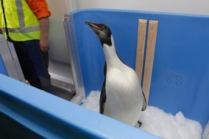 Happy Feet in his enclosure aboard the NIMA research vessel Tangaroa. Photo / Mark Mitchell