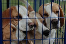 Breeding centre could hold more than 2000 beagles at a time for research puposes.  Photo / APN