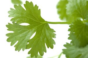 Coriander can be harvested in leaf form and chopped to add a signature note to finish a dish. Photo / Thinkstock