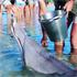 Feeding dolphins at Monkey Mia. Photo / Supplied
