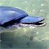 A female dolphin awaits breakfast at Monkey Mia. Photo / Supplied