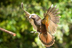 With outstretched wings, the kaka's scarlett and orange markings can be seen. Photo / Tourism Wairarapa