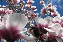 Magnolia x soulangeana is the variety most commonly seen in New Zealand gardens. Photo / Meg Liptrot