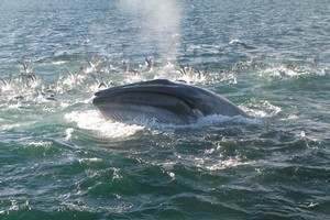 A 12 metre Brydes whale like the one pictured was spotted in the Hauraki Gulf on Friday. DOC staff believe it was probably hit by a ship. Photo / file