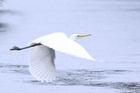 White herons are among more than 70 species of birds in the Okarito Lagoon. Photo / Jim Eagles