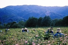 Flower pickers work in the fields of rose de mai in Grasse. Photo / Supplied
