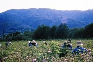 Flower pickers work in the fields of rose de mai in Grasse. Photo / Supplied