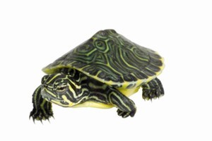 A turtle was the only creature to survive the inferno at the Mapua Aquarium near Nelson. Photo / Thinkstock