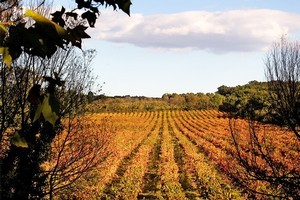 Organic or sustainable vineyards are growing in numbers worldwide. Photo / Babiche Martens