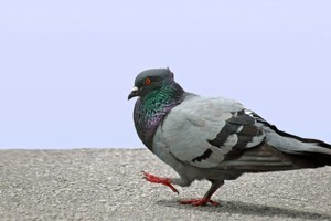 In 1941, the American scientist B F Skinner believed pigeons were the answer to defeating Adolf Hitler. Photo / ThinkStock