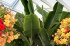 Banana plants enjoy warm, moist conditions. Photo / Hawke's Bay Today