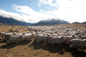 Merinos graze at altitude on tussock, giving the meat a different flavour from traditional lamb. Photo / Supplied