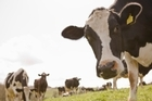 Glen Crafar says he's not guilty of dirty dairying charges. Photo / Thinkstock