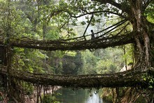 A villager crosses the 'Double Decker' tree root bridge in the village of Nongriat. Photo / Copyright Amos Chapple: Rex Features