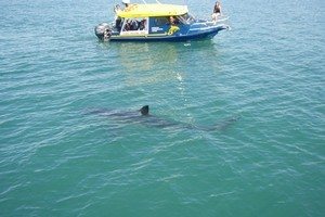 The shark spotted by Kane and Craig Hill. Photo / Kane Hill