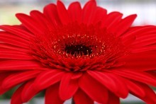 Gerberas are a bright addition to any garde. Photo / Babiche Martens