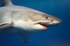 A Great White. Photo / Supplied