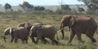 Effort to save Kenyan elephants