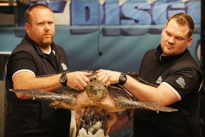 Andrew Christie and Matt Harvey of Kelly Tarlton's, with the olive radley turtle. Photo / Greg Bowker
