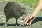 Numbers of kiwi have declined to about 70,000 from millions. Photo / Brett Phibbs
