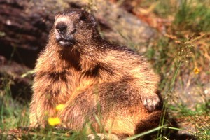 Marmots can be found in the craggy peaks of the Dolomites. Photo / Dolomiti Bellunesi National Park