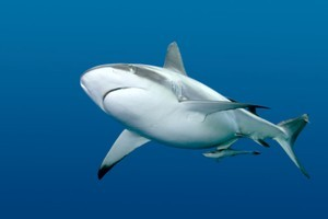 A man is critically injured after a shark attack off the coast of South Africa. According to witnesses, he continued to go into the water despite warnings. Photo / Thinkstock