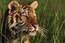 A Bengal tiger keeps a close eye on things from a riverbank. Photo / Thinkstock