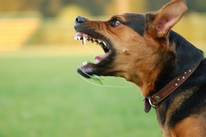 The draft dog bylaw is geared toward public safety after more than 320 dog attacks. Photo / Thinkstock